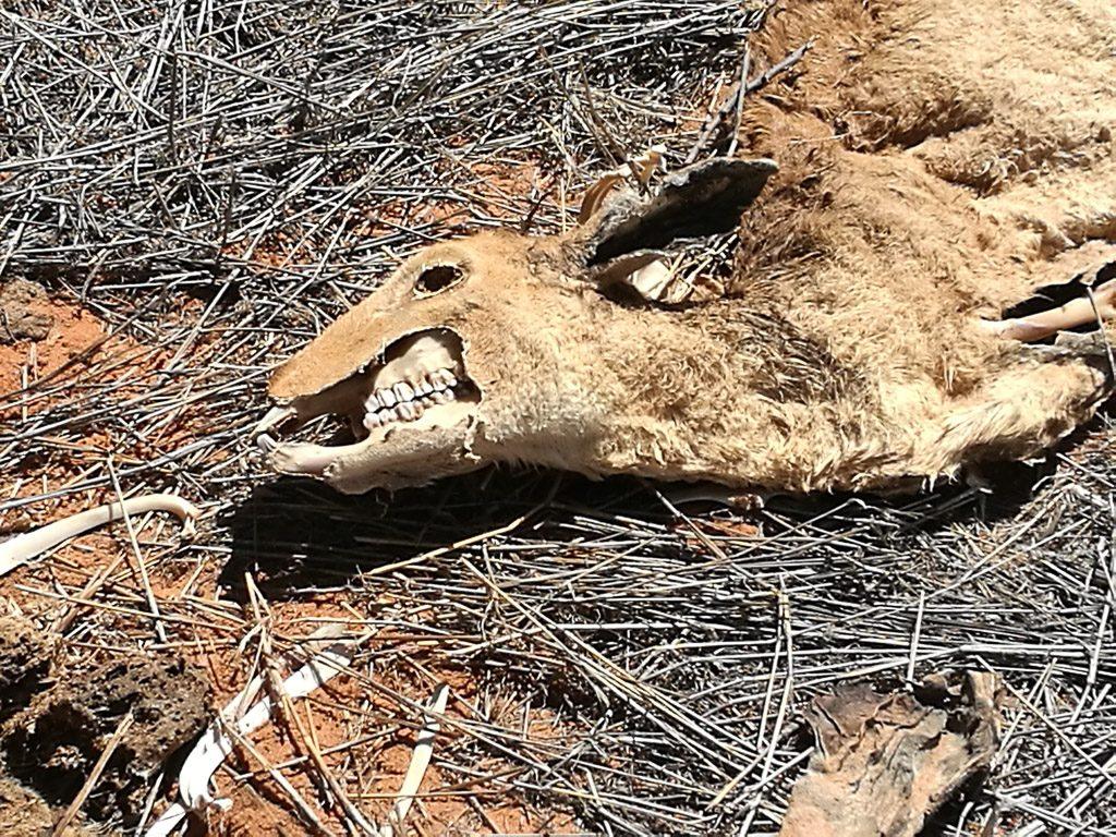 Toter Springbock in Namibia