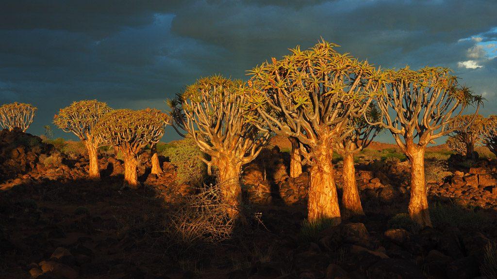 Köcherbaumwald bei Sonnenuntergang in Keetmannshoop
