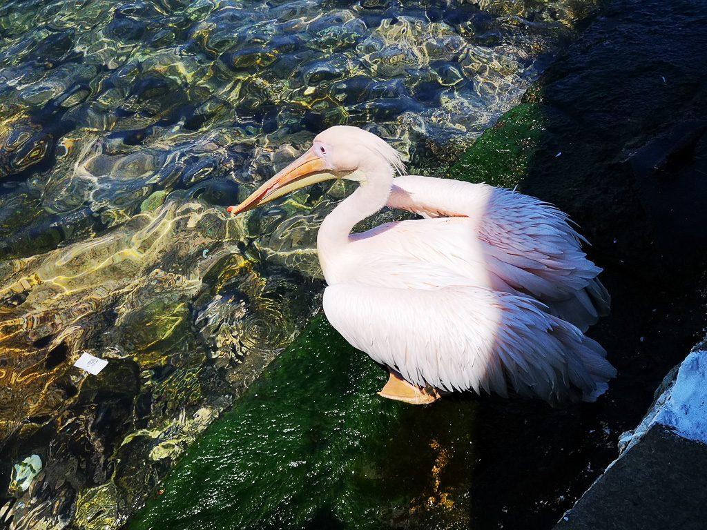 Pelikan Pedros in Mykonos
