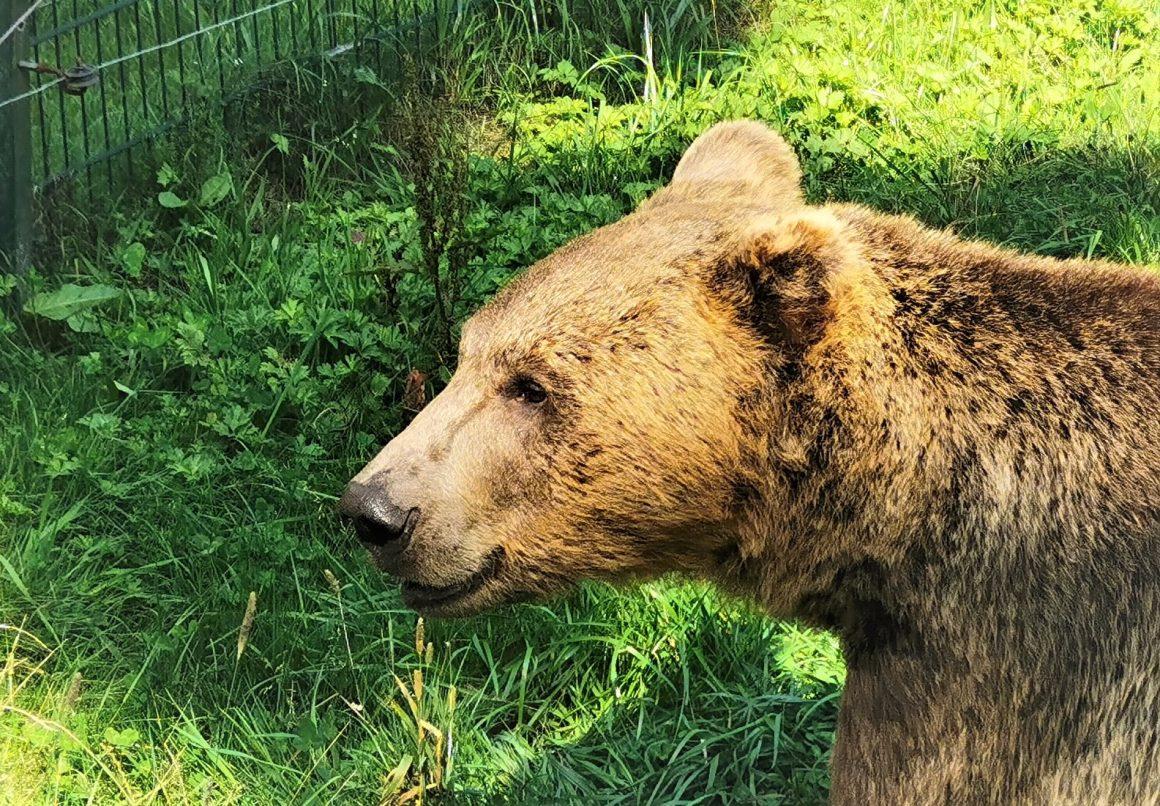 Bär im Alternativen Wolf und Bärenpark Schwarzwald