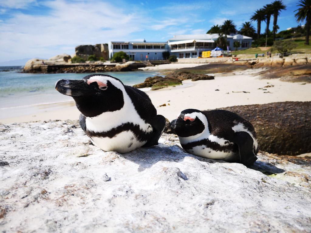 Pinguine am Strand von Simons Town in Südafrika