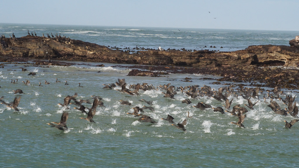 Kormorane bei Lüderitz