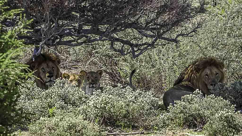 Löwen im Etosha Nationalpark in Namibia