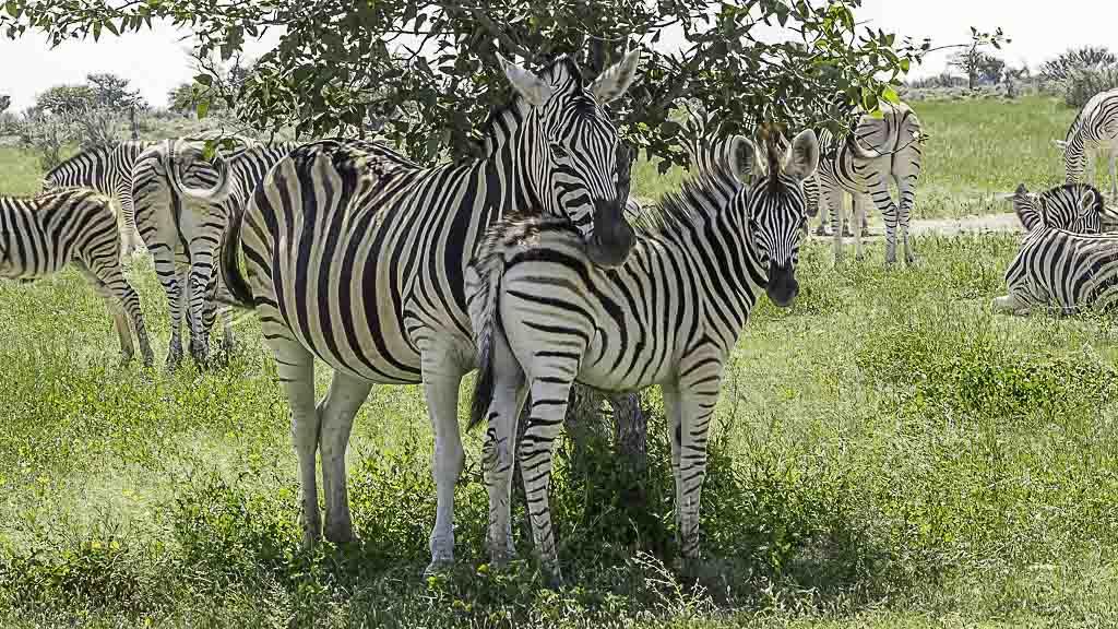 Zebra Stute mit Baby im Etosha Nationalpark in Namibia