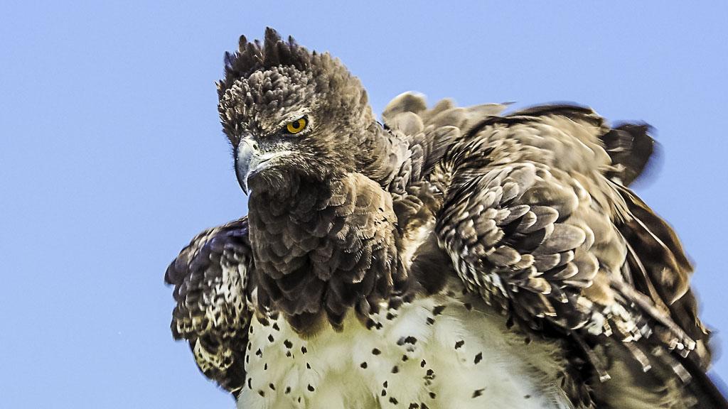 Adler im Etosha Nationalpark in Namibia