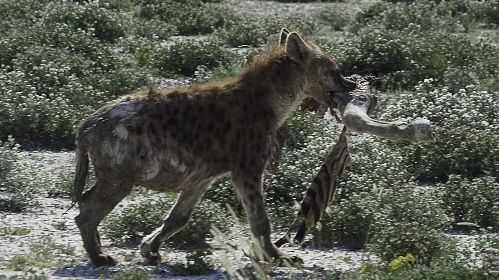 Tupfen Hyäne im Etosha Nationalpark mit Zebrafuß
