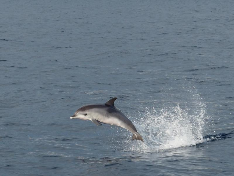 Delfin vor Funchal auf Madeira