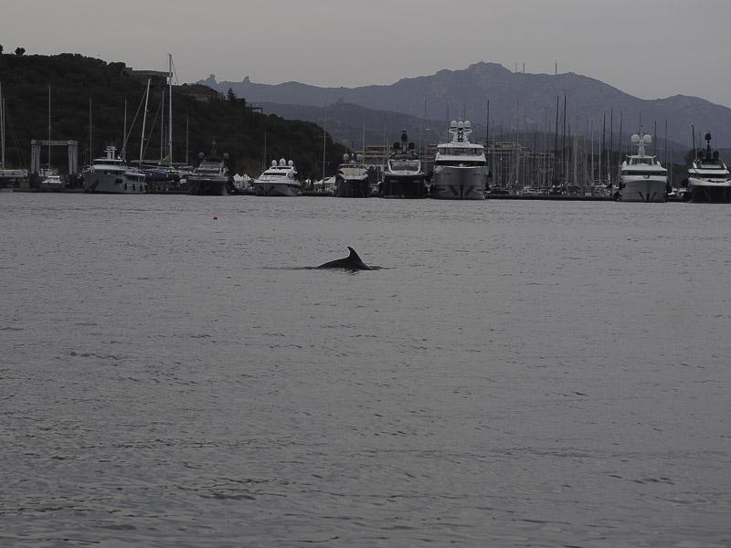 Delfin am Schiff beim Segeltörn Sardinien
