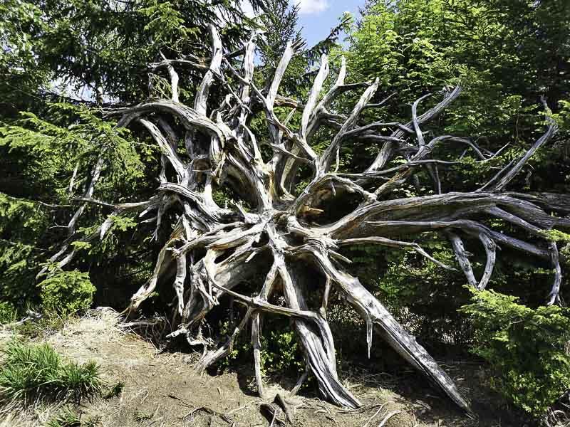 Baumwurzel nach Sturm Lothar im Nationalpark Schwarzwald